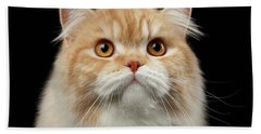 Closeup Portrait Of Red Big Persian Cat Angry Looking On Black Beach Towel