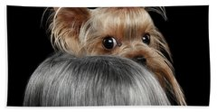 Closeup Yorkshire Terrier Dog, Long Groomed Hair Pity Looking Back Beach Sheet by Sergey Taran