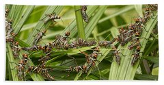 Collared Lubber Grasshoppers Beach Towel