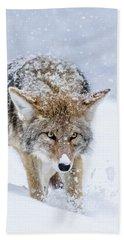 Coyote Coming Through Beach Towel