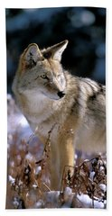 Coyote In Winter Light Beach Sheet