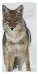 Beach Towel featuring the photograph Coyote Looking At Me by Stanza Widen
