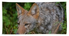 Coyote On The Hunt Beach Towel