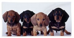 Dachshund Puppies  Beach Sheet by Carolyn McKeone and Photo Researchers