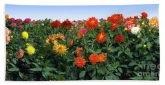 Dahlia Flower Panorama Beach Towel