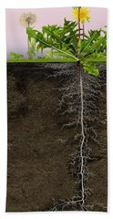 Dandelion Blowball Clock Taraxacum Officinale - Root System - Pi Beach Towel