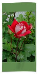 Beach Sheet featuring the photograph Double Delight Hybrid Tea Rose by Jay Milo