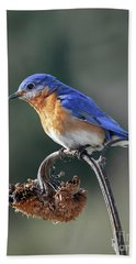 Eastern Bluebird In Spring Beach Sheet