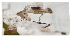 European Herring Gulls In A Row, A Landing Bird Above Them Beach Sheet