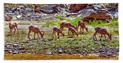 Feeding Mountain Sheep Beach Towel by Robert Bales