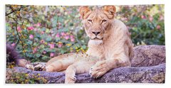 Female Lion Resting Beach Towel by Stephanie Hayes