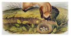 Ferret Beach Towel by John James Audubon