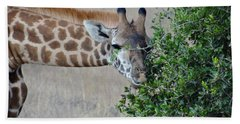 Giraffes Eating - Front View Beach Towel