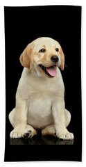 Golden Labrador Retriever Puppy Isolated On Black Background Beach Towel