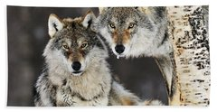 Beach Towel featuring the photograph Gray Wolf Canis Lupus Pair In The Snow by Jasper Doest