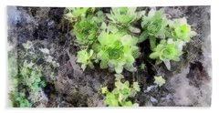 Hens And Chicks - Botanical Illustration Beach Sheet