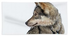 Beach Towel featuring the photograph Husky Dog by Delphimages Photo Creations