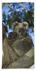 Koala Phascolarctos Cinereus Mother Beach Towel by Konrad Wothe