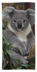 Koala Phascolarctos Cinereus Beach Towel by Zssd
