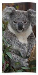 Koala Phascolarctos Cinereus Beach Towel