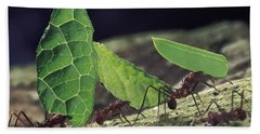 Leafcutter Ant Atta Cephalotes Workers Beach Towel by Mark Moffett