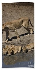 Lion Cubs And Mom Get A Drink Beach Towel by Darcy Michaelchuk