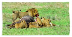 Lion Pride With Cape Buffalo Capture Beach Sheet