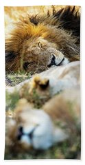 Lion Sleeping With Two Lioness Beach Sheet