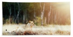 Lioness In Morning Sunlight After Breakfast Beach Towel