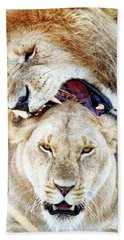 Lions Mating Giving Love Bite Beach Towel