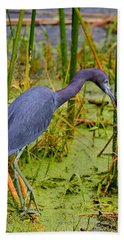 Little Blue Heron Feeding Beach Towel