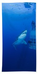 Male Great White With Cage, Guadalupe Beach Towel by Todd Winner