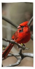 Male Northern Cardinal In Spring Beach Towel