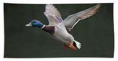 Mallard Drake In Flight Beach Towel