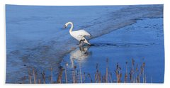 Mute Swan Climbs On The Ice Beach Sheet