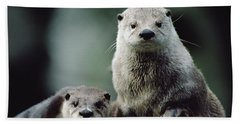 North American River Otter Lontra Beach Towel