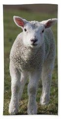 Northumberland, England A White Lamb Beach Towel