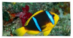 Orange-fin Anemonefish Beach Towel
