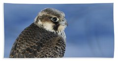 Peregrine Falcon Juvenile Close Up Beach Towel