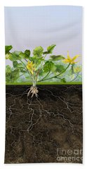 Pilewort Or Lesser Celandine Ranunculus Ficaria - Root System -  Beach Sheet