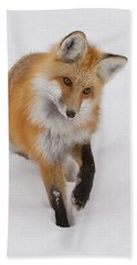 Red Fox Portrait Beach Sheet