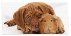 Red Guinea Pig And Dogue De Bordeaux Beach Towel