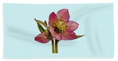 Red Hellebore Blue Background Beach Towel by Paul Gulliver