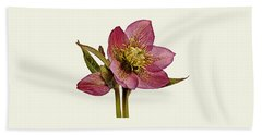 Red Hellebore Cream Background Beach Towel