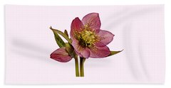 Red Hellebore Transparent Background Beach Towel