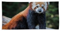 Red Panda  Beach Towel by Mitch Shindelbower