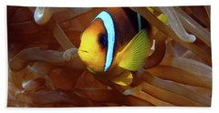 Red Sea Clownfish, Eilat, Israel 8 Beach Towel