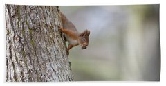 Red Squirrel Climbing Down A Tree Beach Towel