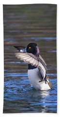 Ring-necked Duck Wings Up Beach Sheet