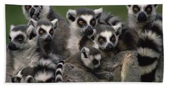 Beach Towel featuring the photograph Ring-tailed Lemur Lemur Catta Group by Gerry Ellis